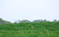 北海道 西日の草原にキタキツネ