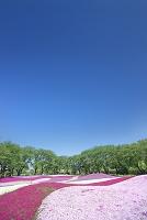 群馬県 ザ・トレジャーガーデン 芝桜