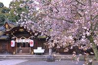 京都府 サクラの咲く平野神社