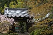 山形県 石行寺山門と桜