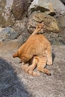 山口県 蓋井島のネコ 毛づくろいをするチャトラ