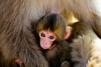京都府 日本猿の親子