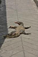 バンコク 街中に現れたオオトカゲ