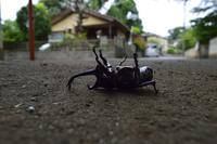 路上のカブトムシ