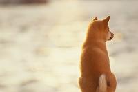 柴犬(メス)