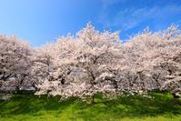 埼玉県 満開の桜並木