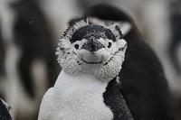 南極 ヒゲペンギン