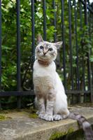 パリ 青い瞳の猫