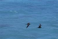 太平洋 キリバス クリスマス島 アジサシの仲間