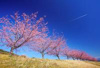 静岡県 伊豆の国市 狩野川堤防の河津桜の桜並木と飛行機雲