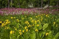 栃木県 上三依水生植物園 クリンソウ群生