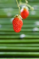果物 青竹の上のイチゴ アキヒメ