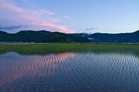 愛媛県 宇和盆地の早苗