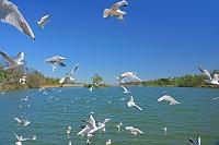 三重県 青少年の森公園 道伯池 飛ぶユリカモメ
