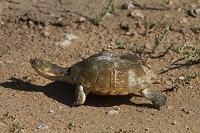 ナミビア エトーシャ国立公園 カメ