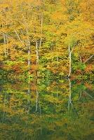 日本 長野県 鎌池と黄葉のブナ林