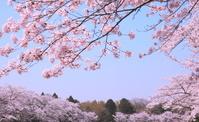 桜 春爛漫
