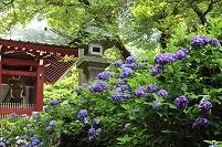 神奈川県 最乗寺 仁王門とアジサイ
