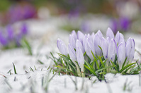 なごり雪に埋もれる薄紫のクロッカス