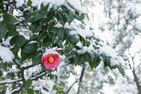 日本 ツバキの花と雪