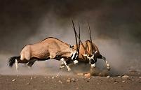 ナミビア 2頭のオリックスの戦い