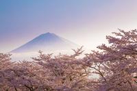 朝焼けの富士山と桜