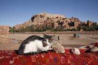 モロッコ カスバ 猫