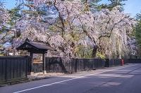 秋田県 角館の桜