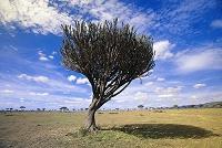 ケニア 木陰で涼むチーター