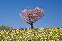 北海道 美瑛町 桜咲くハートの木