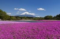 山梨県 富士芝桜まつり会場よりの富士山