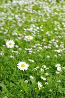 デージー群れる草原の白菊