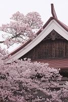 高遠城址公園 高遠閣 高遠小彼岸桜