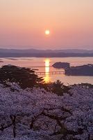 宮城県 桜咲く松島の日の出