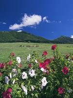 岡山県 蒜山高原よりジャージー牛と上蒜山と中蒜山