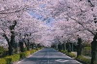 埼玉県 北桜通り桜並木