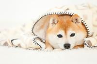 ブランケットに包まる豆柴犬