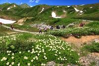 富山県 チングルマの花園を往く