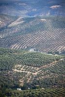 アンダルシア オリーブ畑