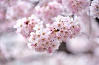 京都市 祇園白川満開の桜