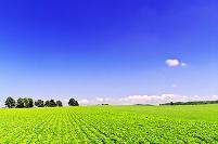 北海道 並木のある豆畑の丘の夏景色