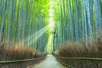 京都府 竹林の道