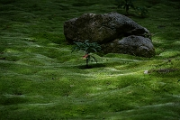 奈良県 秋篠寺 金堂跡の苔庭