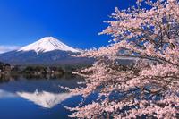 山梨県 朝の富士山と河口湖畔の桜と逆さ富士