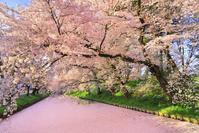 青森県 朝の弘前城外濠の桜並木と花筏