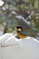 北海道 豪雪の中のヤマガラ