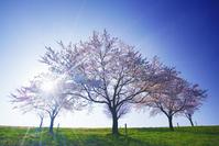 長野県 飯山市 千曲川桜堤のソメイヨシノと朝の木漏れ日
