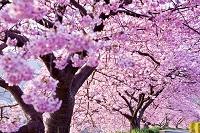 河津桜並木と遊歩道