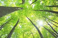 青森県 新緑のブナ林と木漏れ日