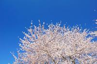 三重県 三滝川の桜